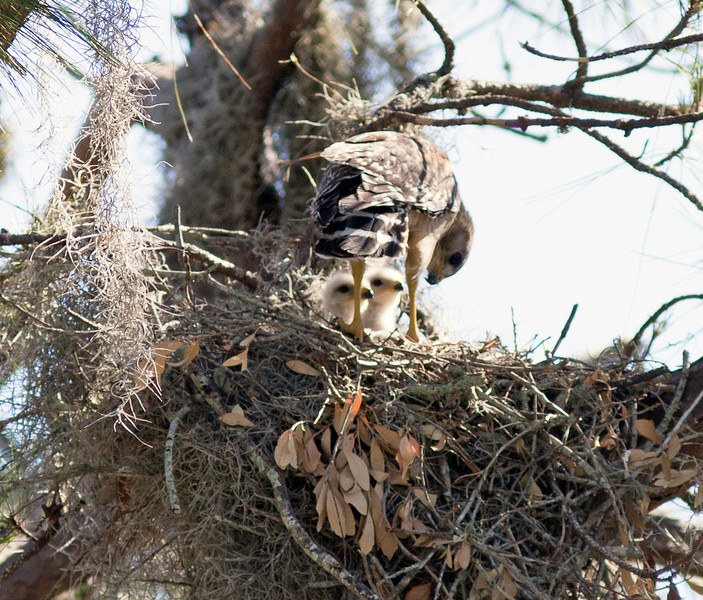 9_27_19 Red Shouldered Hawk Chicks.jpg