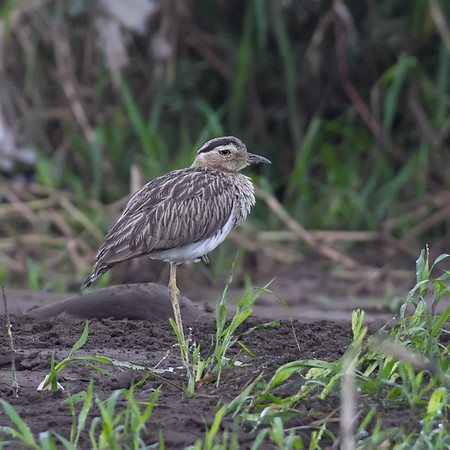 Doublestriped Thickknee