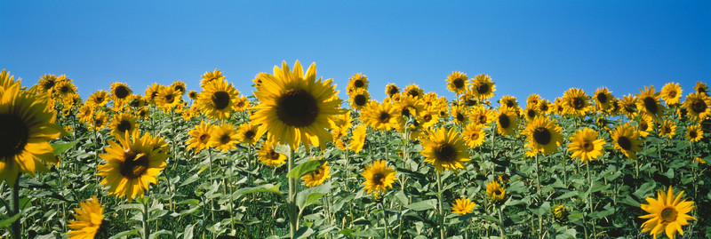 Sonnenblumen II
