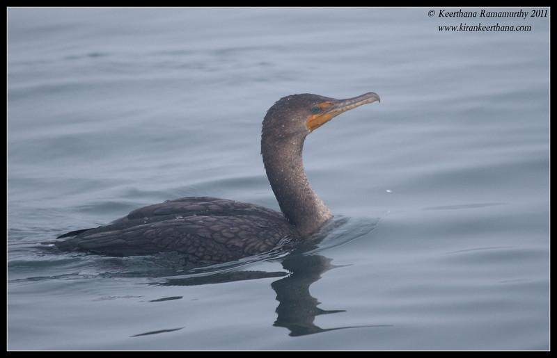 Double-crested Cormorant, Pelagic Trip Pacific Ocean, San Diego County, California, January 2012