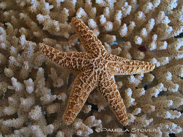 Star Fish, Sand Dollar, Coral