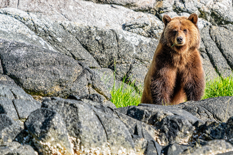 Cute grizzly bear eating grass along the Knight Inlet shoreline, Knight Inlet, First Nations Territory, Great Bear Rainforest, British Columbia, Canada.