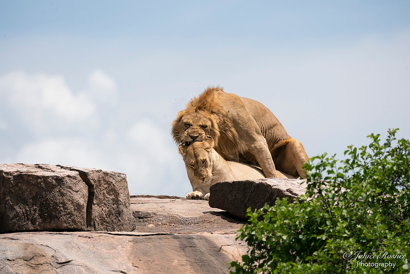 Lion Love- After the Greeting