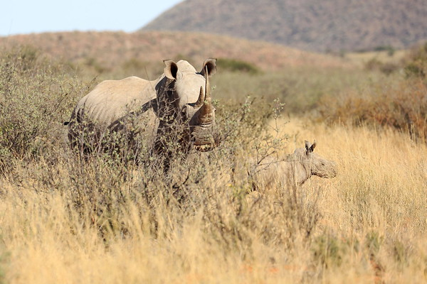 Mother and young baby Rhino Tswalu South Africa 2016