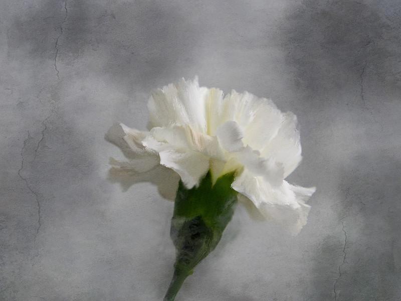 Carnation44 0 5 min.jpg