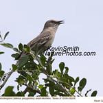 NorthernMockingbirdA58206.jpg