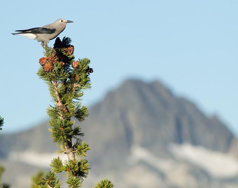 Jays and Crows (Corvidae)
