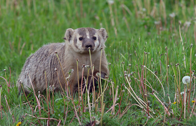 Badgers, Mink, Weasels, Beavers,  Porcupines and Rabbits