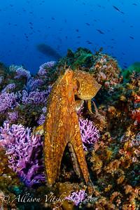 California: cephalopods