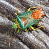 Bugs - Hemiptera
