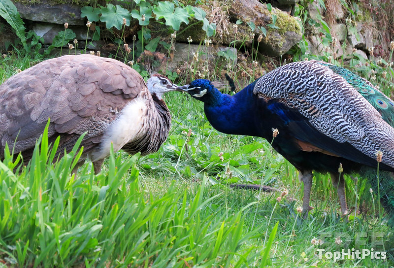 A Male and Female Peacock in Little Stretton, Shropshire