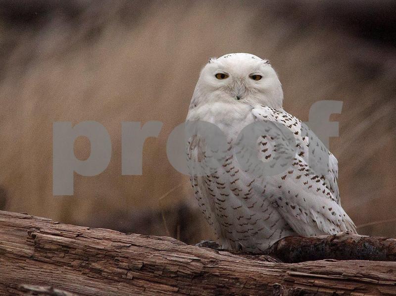 Snowy owl 5563c.jpg