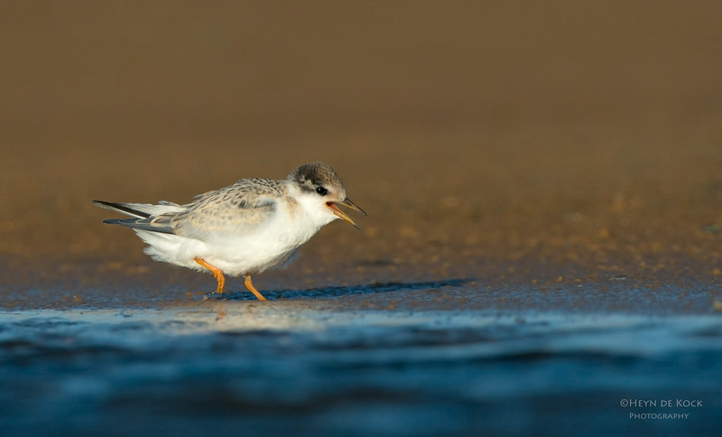 Little Tern, juv, Culbarra, NSW, Aus, Feb 2013.jpg