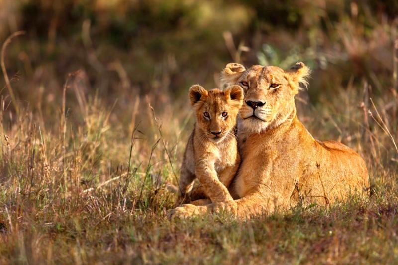 south_africa_safari-lios_cub.jpg