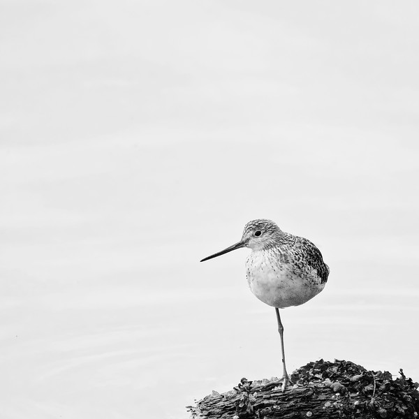 Greater Yellowlegs