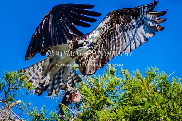 Blue Cypress Lake Osprey - 24 May 2015