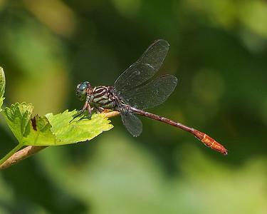 Dragonflies (Anisoptera)