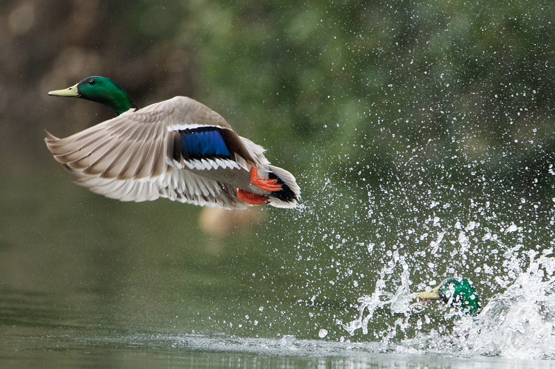 A male mallard lifts off after getting chased out of Pichetti pond by another male mallard.