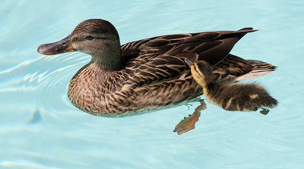 Ducks in North Pool
