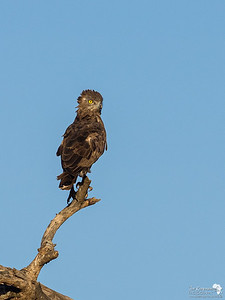 Brown Snake Eagle in the Serengeti