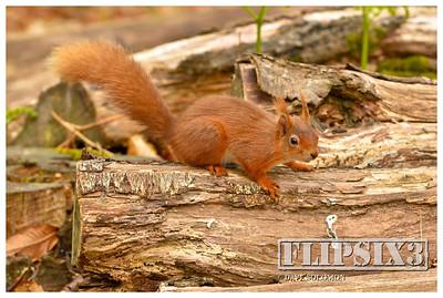 Brownsea Island Squirrels