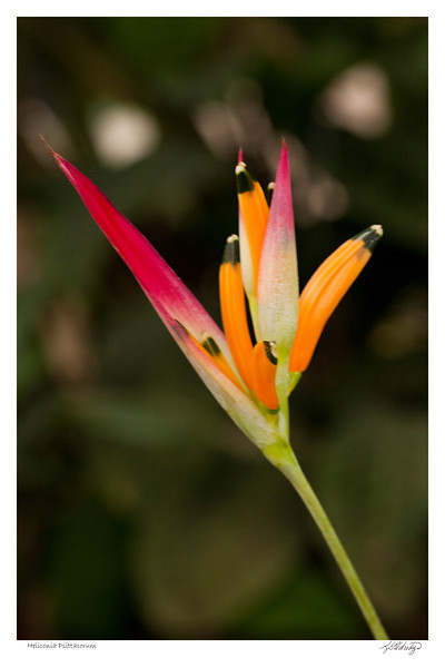 Heliconia Psittacorum found in Ecuador