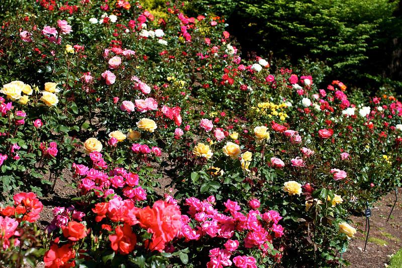 Portland International Rose Test Garden  2205.jpg