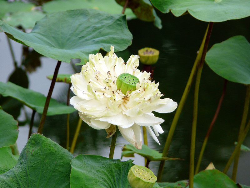 Another water lily at Shangri La Hotel in Chiang Mai.