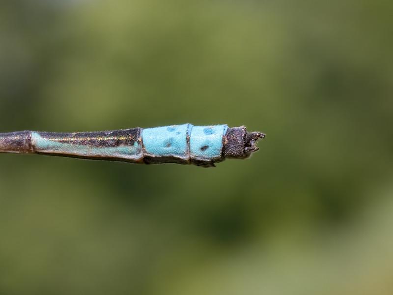 Male, Lums Pond State Park, DE