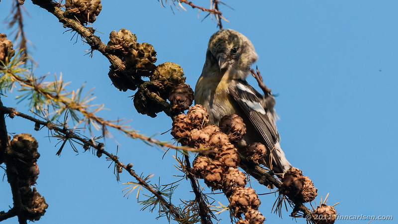 Hvidvinget korsnæb - Loxia leucoptera - Two-barred Crossbill