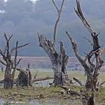Trunks of dead trees in a lake in Ranthambhore national park