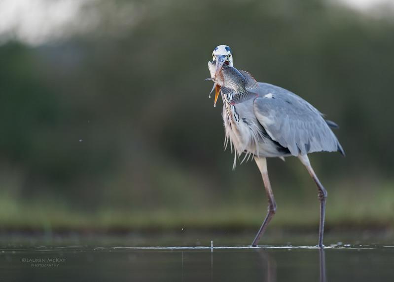 Grey Heron & Tilapia, Zimanga, South Africa, May 2017-2.jpg