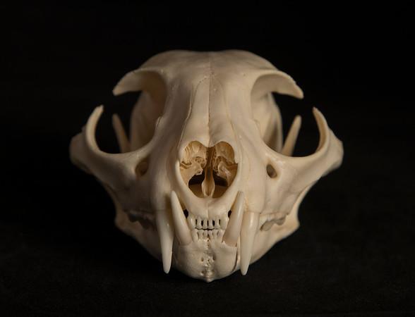 Bobcat Skull Male (Lynx rufus) Felidae