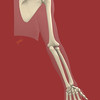 Upper Extremity Skeleton, Posterior View, Portrait