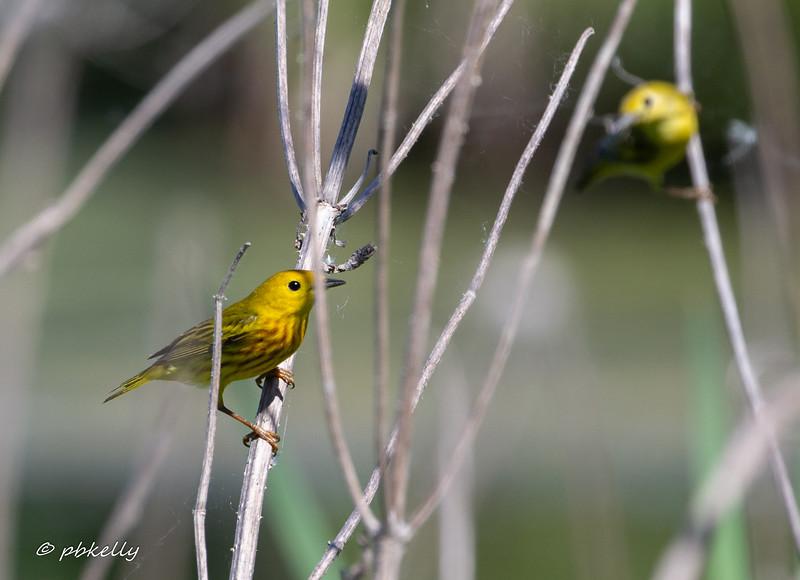 yellow warbler 060418.jpg