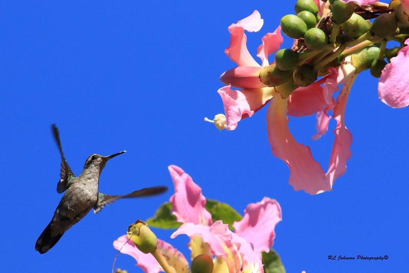 Gilded Hummingbird - Buenos Aires, Argentina - April 2015