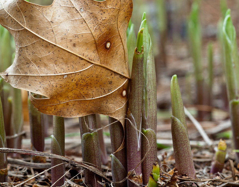 April 8 in the Lily of the Valley lifecycle study. Those oak leaves are persistent aren't they?   The rain and the sun are doing their work.