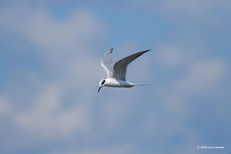 A Least Tern soars over Orlando Wetlands