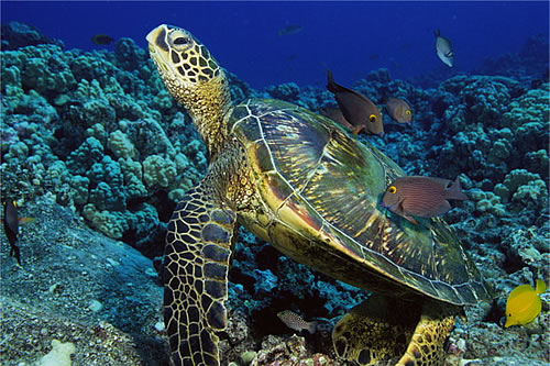 Turtle, Similan Islands