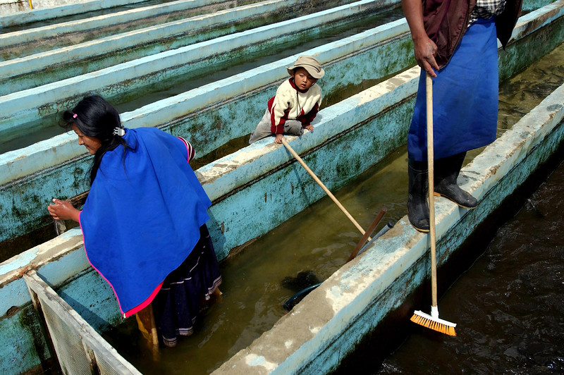 Guambiano Indians Luz Dari Tunubala, left, Dario Trochez, 5, and Alfonso Yalanda, clean a trout tank on their fish farm outside Silvia, Cauca Province, Colombia, Monday, Aug. 25, 2003.  Silvia is the center of the Guambiano Indian culture. The Guambiano Indians, who number about 18,000 and who have retained their own traditions and language, traditionally grow fruits and vegetables and farm trout. Since 1989 some Guambiano Indians, for economic reasons, have started to grow small plots of poppy flowers that are used in the production of heroin. The town Silvia, which has a population of 5000, is controlled by the government while surrounding mountains are held by the Marxist guerrilla group the Revolutionary Armed Forces of Colombia ( FARC).  Photo by: Ann Johansson.