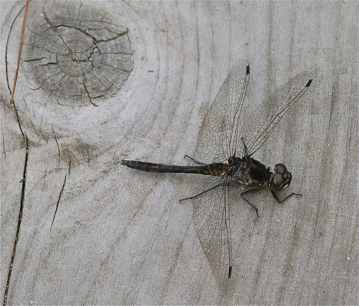 Black Darter - Sympetrum danae, Thursley Common, UK 2009 ak