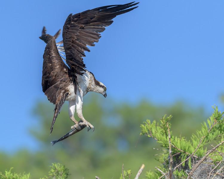 2021_KSMetz_Florida_Osprey Trip_April06_NIKON D5_0433-Edit.jpg