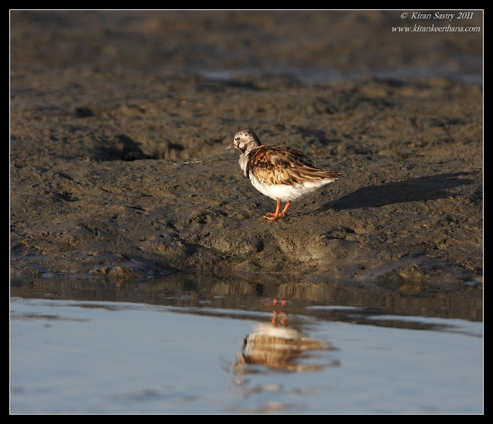 Ruddy Turnstone in breeding plumage, Robb Field, San Diego River, San Diego County, California, August 2011