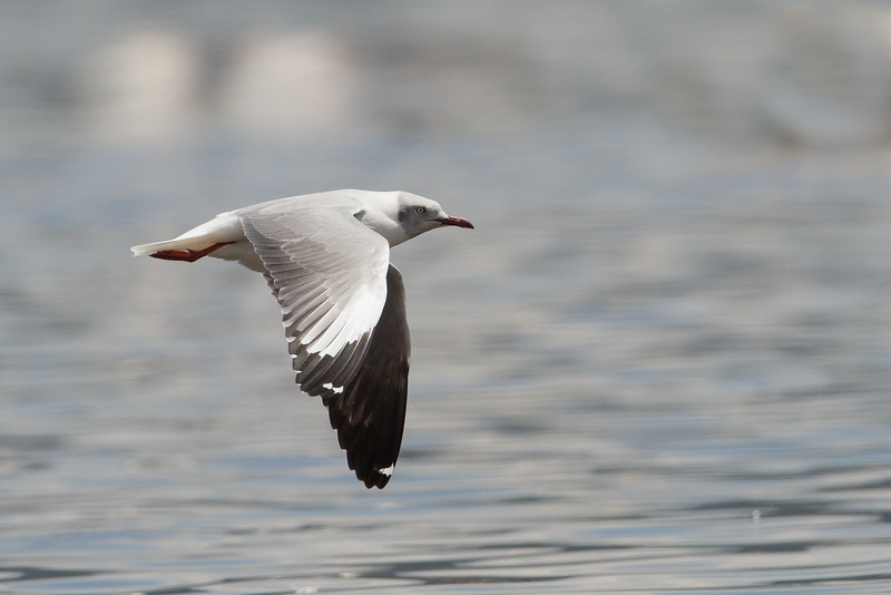 Grey-headed Gull - Lake Nakuru National Park, Kenya
