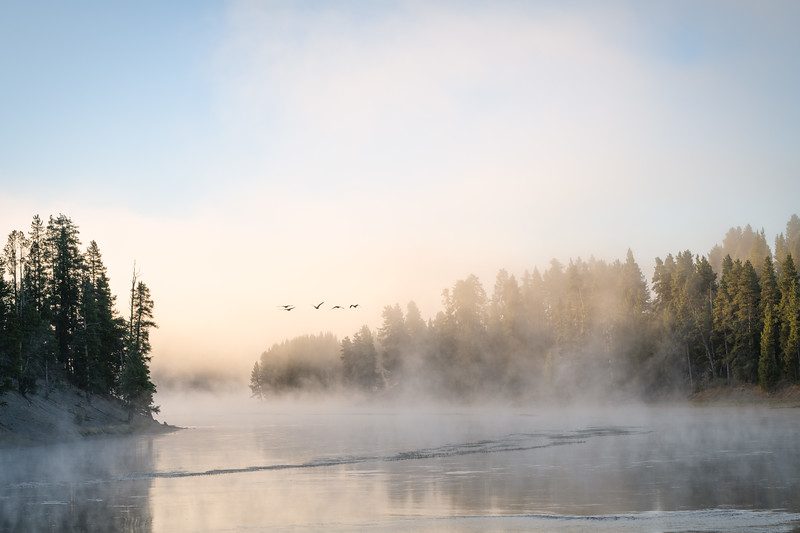 Yellowstone Geese Aflight || Yellowstone River