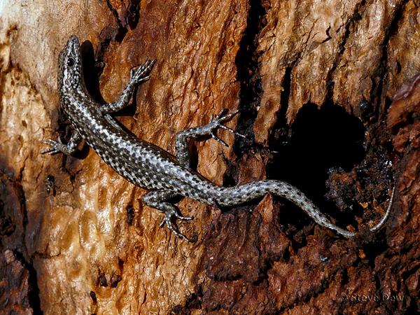Ragged Snake-eyed Skink