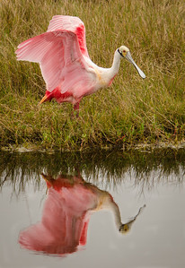 I think this Spoonbill was admiring his image in the water.