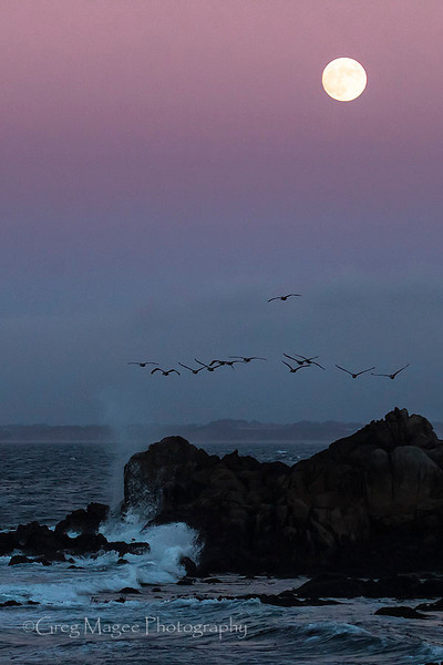 Pelicans and the full moon