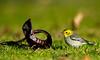 hermit warbler, female, rare bird NY, winter, Sunken Meadow State Park