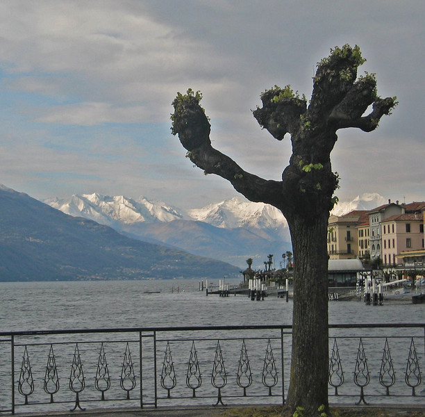 Tree, Bellagio
